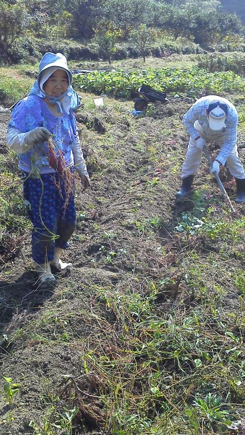 美郷、芋掘り大会