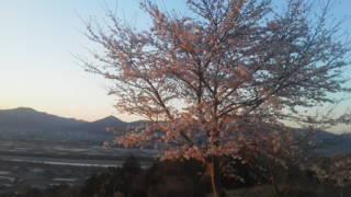 川島のチェリーロード