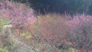 13日現在の花の開花情報
