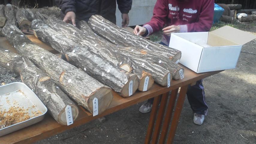 原木椎茸の菌詰め
