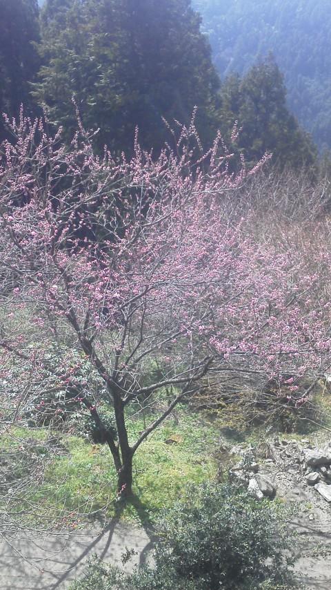 4月12日の花桃、桜