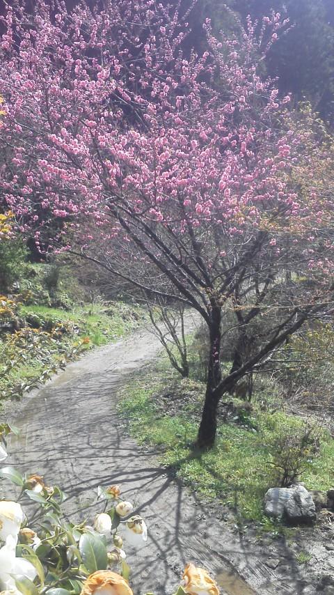 4月14日の花桃