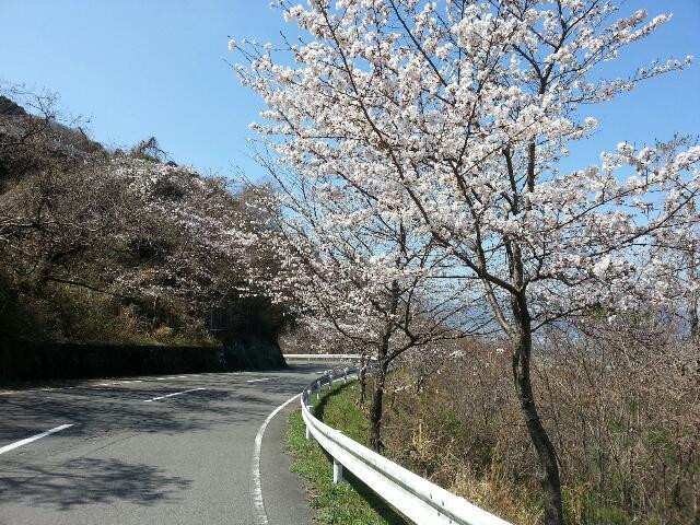 川島チェリーロードの桜