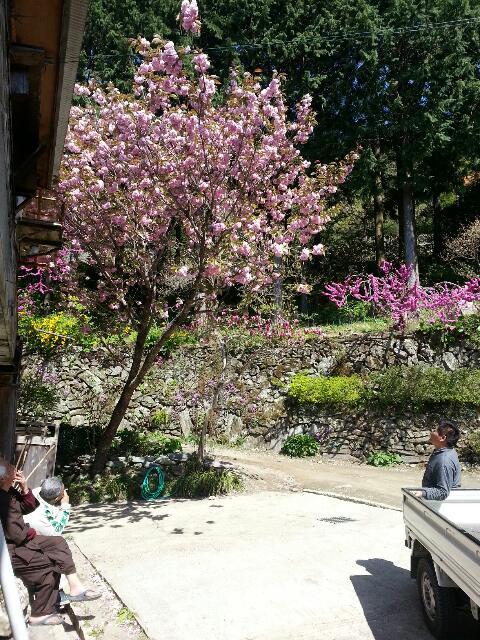 4月22日桜満開、散りかけ