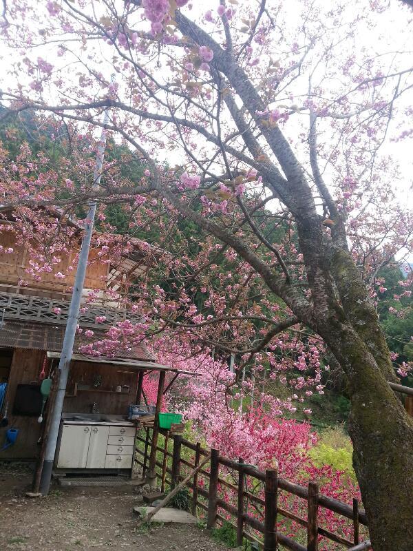 桜が咲いてきました