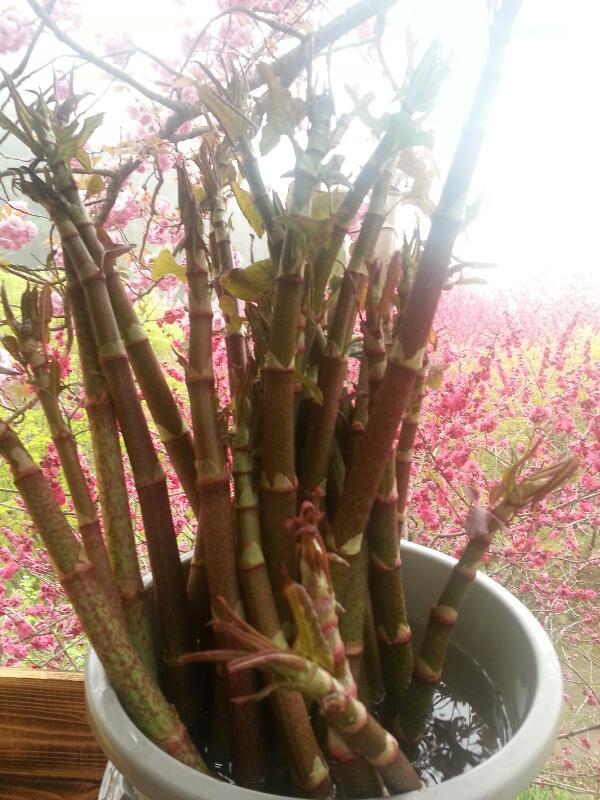 4月21日桜七分咲、山菜豊富